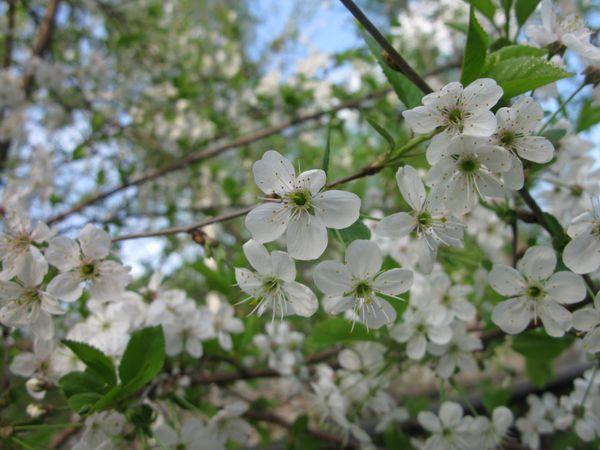 Цвести дерево начинает с середины мая