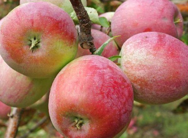 Карликовые яблони имеют высокую урожайность