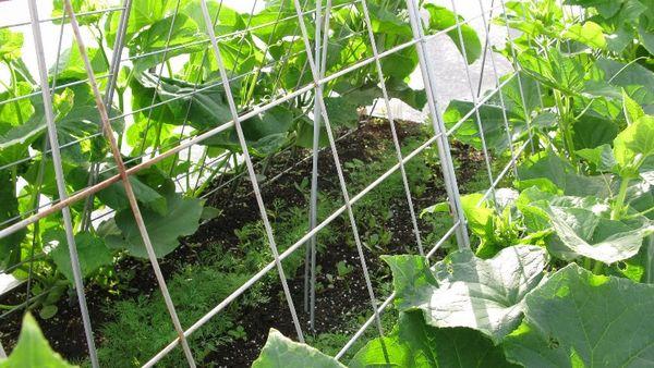 Регулярно обрывайте подножные листья огурцов