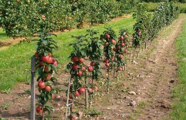 Колоновидные яблони необходимо обрезать несколько раз в год