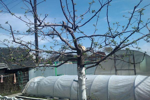 Весенняя обрезка яблони осуществляется в марте или апреле
