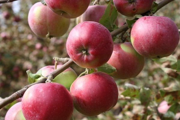 Яблоня Болотовское относится к морозоустойчивому виду