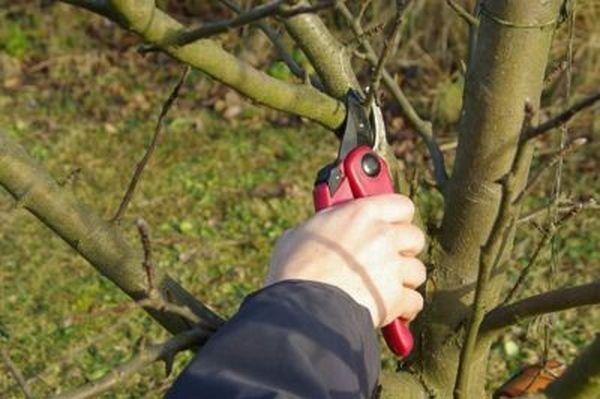 Регулярная обрезка саженца яблони стимулирует рост