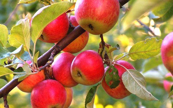 Некоторые сорта яблонь не дают урожай ежегодно