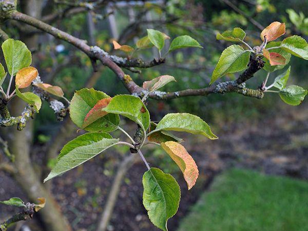 При наличии болезней яблони не начнут плодоносить