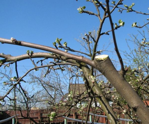 При обрезке трехлетнего дерева удаляют лишние ветви