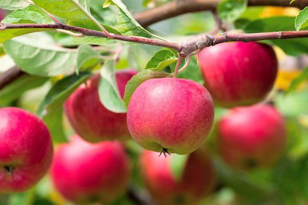 Избыток грунтовых вод влияет на урожайность яблони