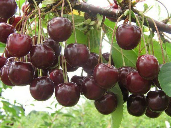 Вишня Уральская рубиновая цветет с 30 мая и по 8 июня