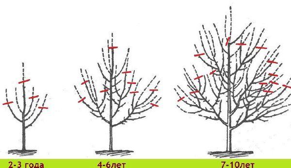 Схема обрезки яблони в саду