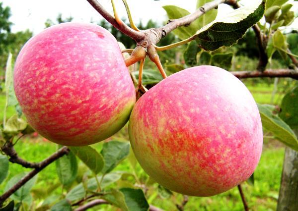 Яблоня Конфетное созревает к началу августа