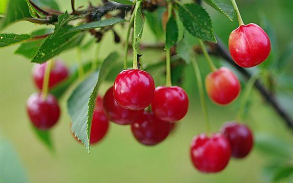 Урожай Красы севера поспевает в первой половине июня