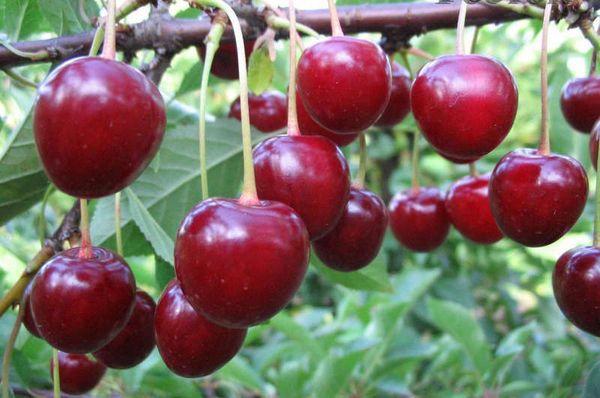 Волочаевская вишня ценна своими вкусовыми качествами