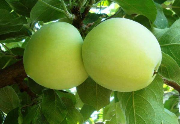Яблоня Белый налив плодоносит ранним летом