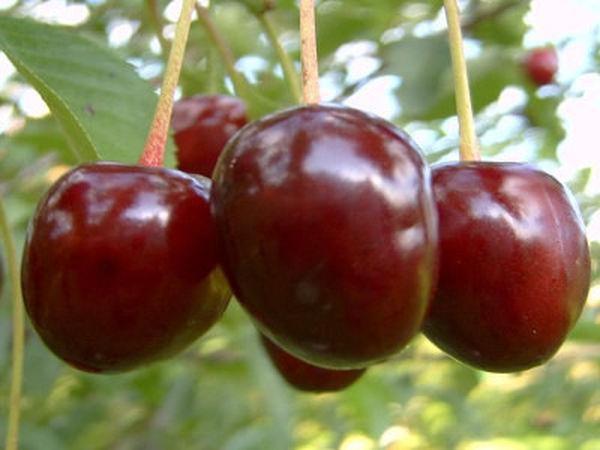 Растение формирует крупные плоды