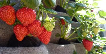 Способы выращивания клубники и земляники садовой на даче