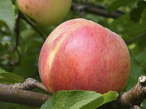 Яблоня сорта Болотовское характеризуется универсальным назначением