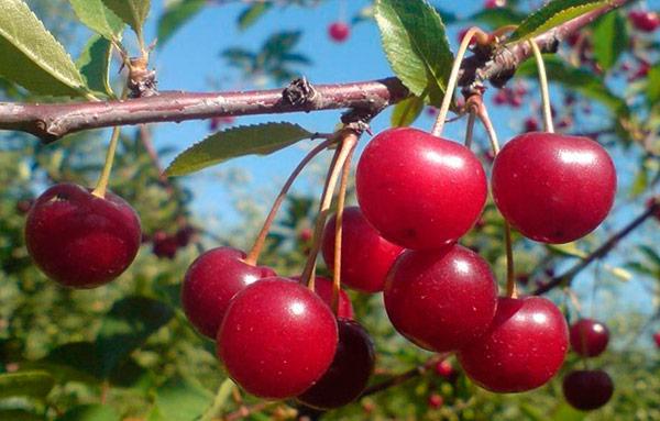 Из-за раннего созревания ягоды Аморели Никифорова объедают птицы