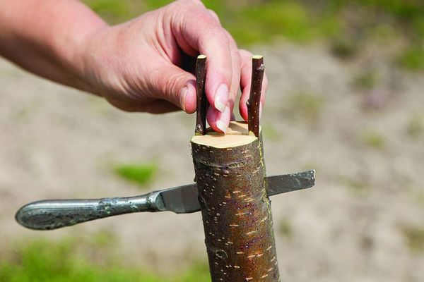 Перед прививкой яблони необходимо подготовить инструментарий