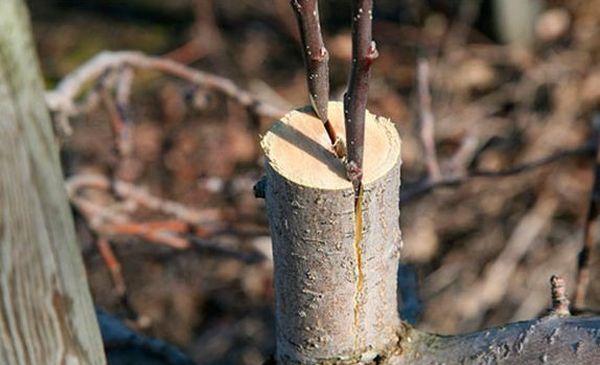 Прививать яблоню можно на протяжении всего года