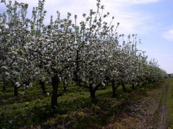 Существует несколько схем для формирования кроны яблони