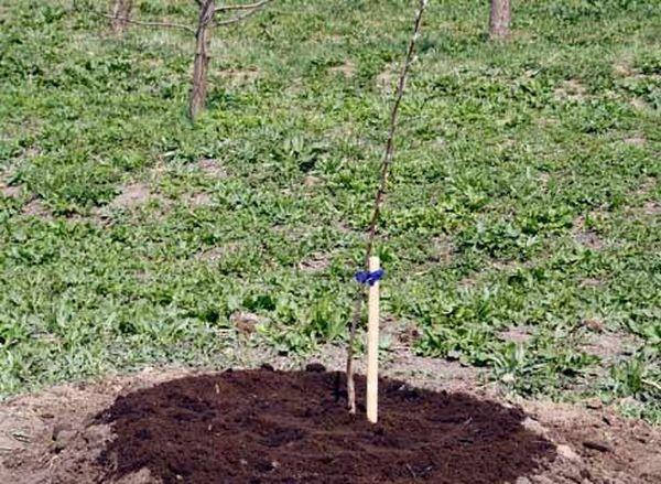 Высаживать яблоню необходимо до распускания почек
