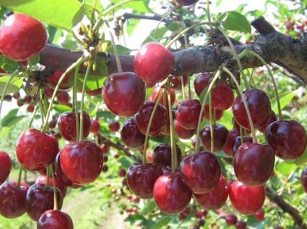 Период плодоношения начинается на 4-й или 5-й год жизни дерева