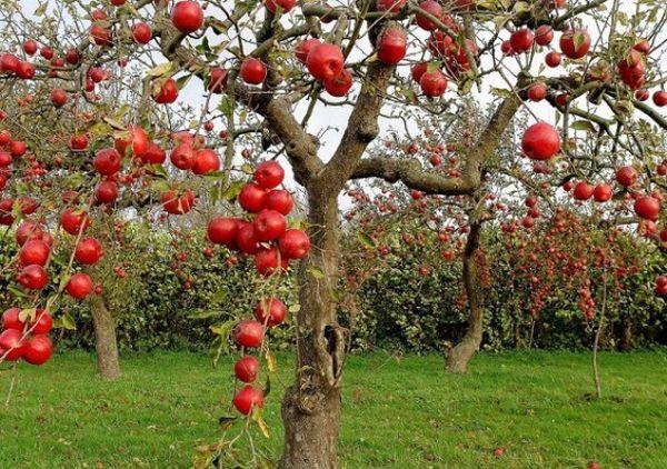 Осенью лучше убирать старые ветки у взрослых яблонь