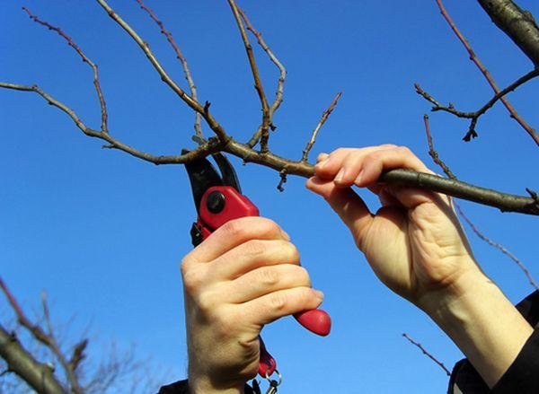 Заготовка черенков яблони для прививки весной: инструкция