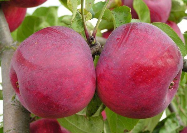 Осенние сорта яблонь сохраняются до середины зимы
