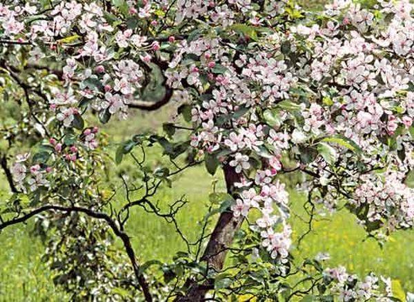 Яблоня прекрасно способна опылять деревца груш