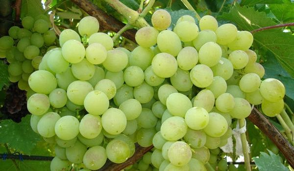 Виноград Восторг – это раннеспелый столовый вид растения