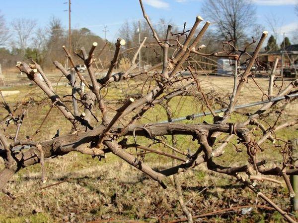С помощью обрезки можно омолодить виноград