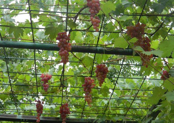 Высота виноградной арки обычно составляет 2–2,5 м