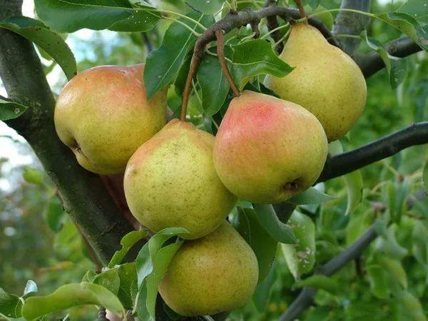 Собранные фрукты без потери качества могут храниться до 120 дней