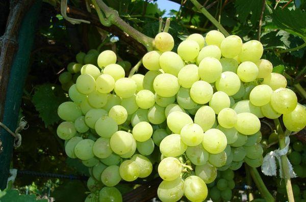 Виноград Восторг идеальный имеет овальную форму ягодок