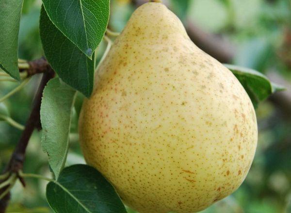 Плоды груши Елена отличаются приятным вкусом