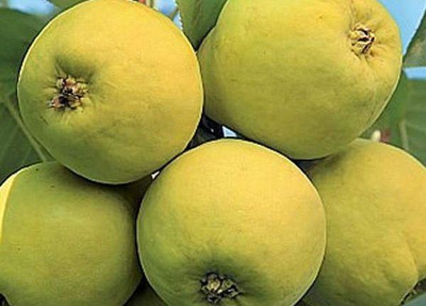 Сорт груши Уралочка имеет мелкие плоды