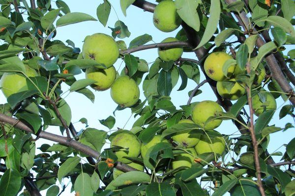 Плоды созревают во второй половине августа