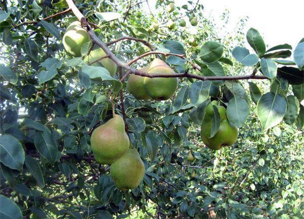 Плоды Сентябрины довольно крупные (180–200 г)
