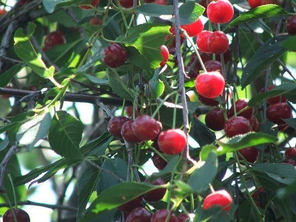 Звездочка - раннеспелая урожайная вишня