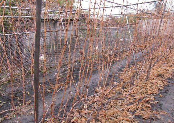 В первой год виноградную лозу обычно не обрезают