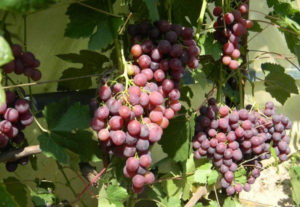 Виноград Рошфор относится к сильнорослым растениям