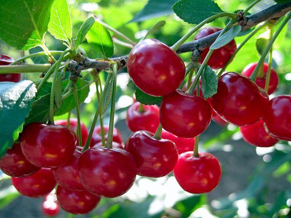Аморель Никифорова - урожайная вишня