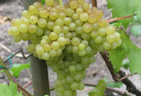 Кишмишные сорта винограда обладают множеством полезных свойств