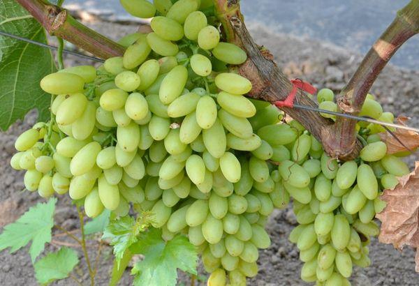 Виноград кишмиш – это целая серия гибридов растения