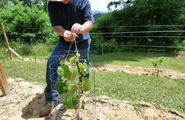 Весной не стоит сразу разматывать виноград