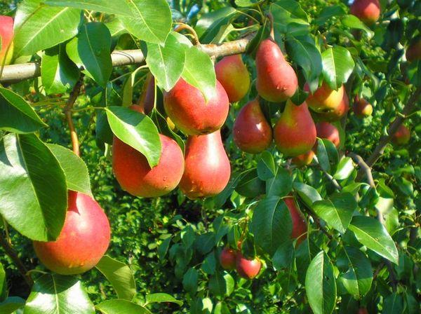 Средний вес созревшего фрукта составляет 180–200 г