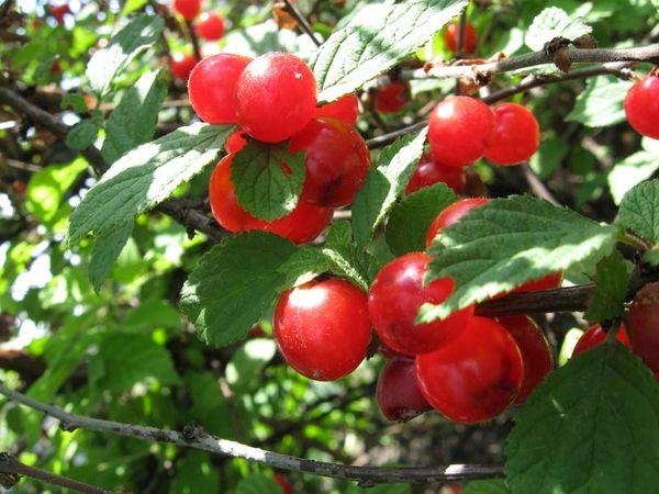 Розовая плодоносит во второй половине лета