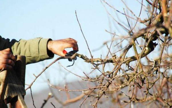 Обязательно избавляйтесь от сухих ветвей