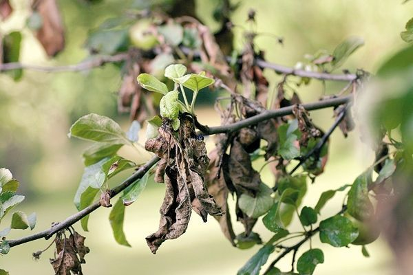 Для устойчивости к заболеванию деревья следует подкармливать